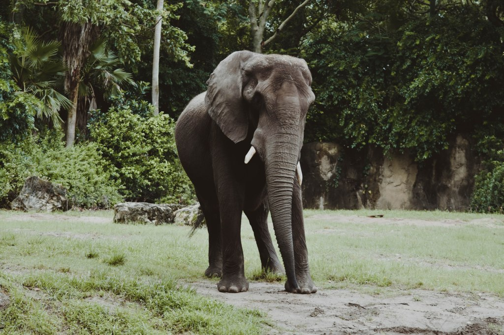 Elephant, Disney's Animal Kingdom, Disney Parks, Orlando, FL by Hannah Stuart, 2017