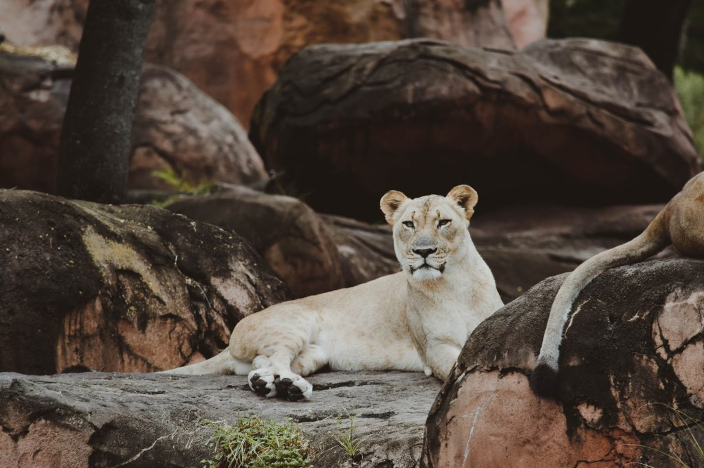 Lioness, Disney's Animal Kingdom, Disney Parks, Orlando, FL by Hannah Stuart, 2017